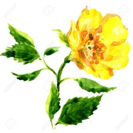 47197750-beautiful-yellow-flower-isolated-watercolor-painting-on-white-background-Stock-Photo.jpg